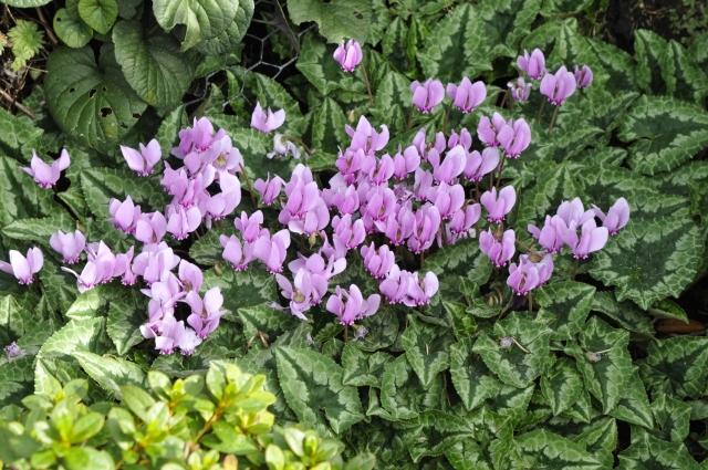 Cyclamen hederifolium blomstrer fra ca. 1.8. og frem til oktober.