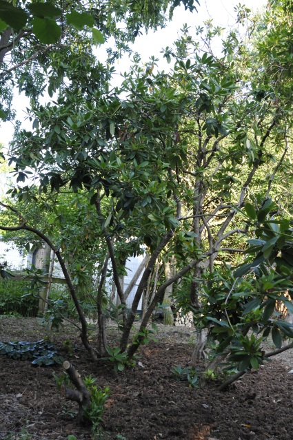 Omkring planterne ligger der ca. 15 cm ny grov spagnum i en diameter på ca. 2 m. Øverst i billedet. mod den lyse himmel, fornemmer man planternes højde - mere end 6 m.