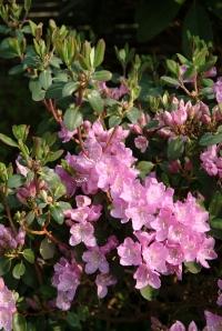 R. oreotrephes med de skønne næsten helt ensfarvede blomster.