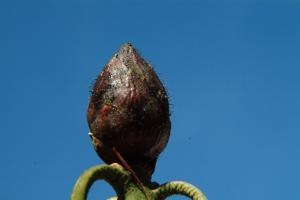 SORT Rhododendronknop med tydelige svampesporer (hår) på hele knoppen.