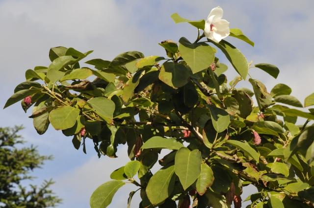 Magnolia sieboldii har stadig enkelte blomster efter en blomsterrig sommer.