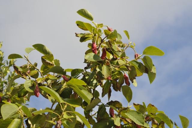 Overalt ses de røde frugter på Magnolia sieboldii.