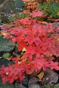 R. quinquefolium i okt.