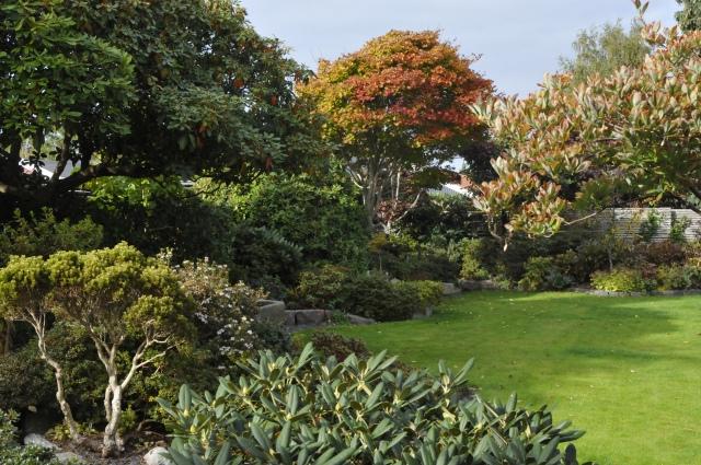 I baggrunden er den store Acer shirasawanum 'Aureum' ved at skifte farve. Den småblomstrende R. næsten midt i billedet er R. trichostomum 'Collinwood Ingram', som var i blomst for 2, gang i år allerede for 3 uger siden.