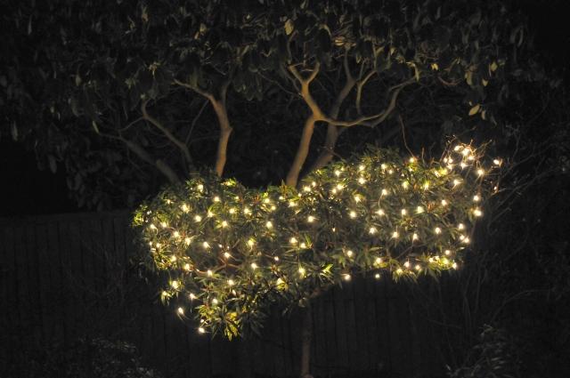 En opstammet R. 'Graziella' med julelys under en stor gammel opstammet R. 'English Roseum'