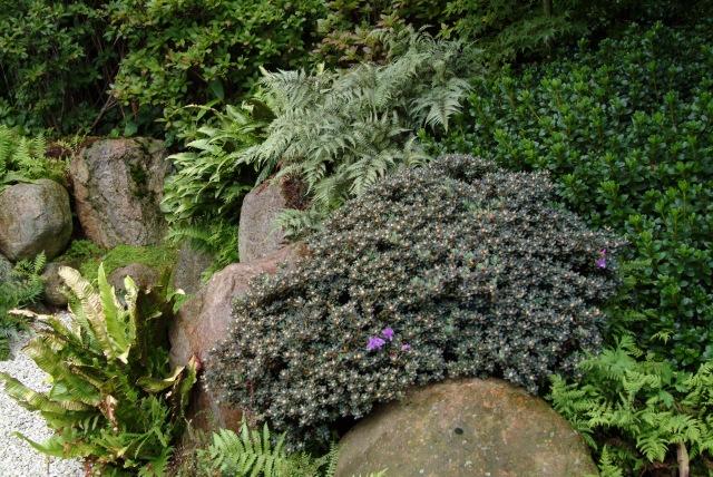 R. impeditum på meget lys skygget plads i alpin have.