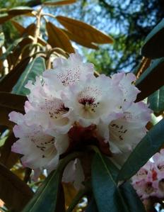 R. fictolacteum i blomst. Biledet har jeg taget i Rhododendronhaven i Tørring