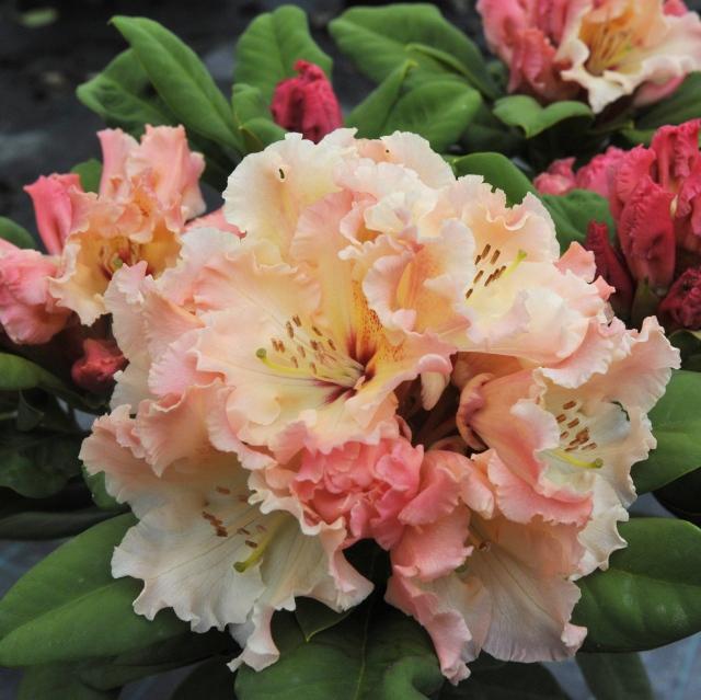 R. 'Villys Star'. Et farvevæld fra stærk rosa over orange til varm gul, indv. med rød tegning. En kompakt plante på ca. 100 cm på 10 år.