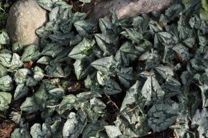 Stedsegrønt løvtæppe af Cyclamen hederifolium.