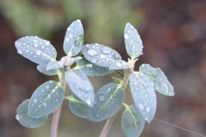 R. oreothrepes turkisblå løv ses på lang afstand