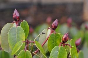 R. williamsianum 'Tibet'. De røde knopper bliver til renhvide blomster.