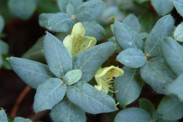 R. lepistostylum i blomst medio july.