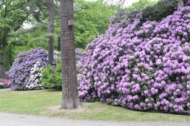 Ca. 6 m høje er de store sammenvoksede R. 'English Roseum' i Bremens Rhododendronpark. Den lilla i baggrunden er R. 'Catawbiense Grandiflorum'