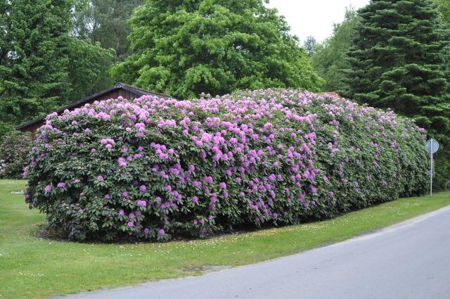 Flot uklippet hæk R. 'English Roseum'  i Nordsjællandsk sommerhusområde