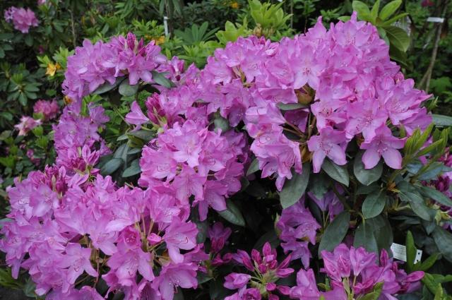 Rhododendron 'English Roseum'/'Roseum Elegans' medio juni.