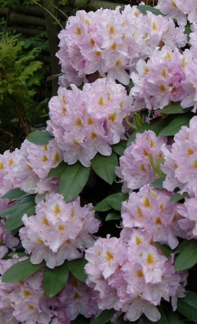 R. 'Genoveva' den 10. juni. Bemærk det smukke løv.