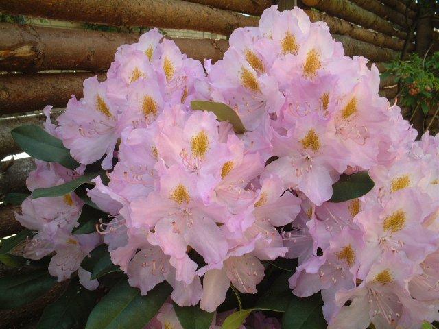 R. 'Genoveva' imponerer med sine store blomsterklaser i juni. Fotograferet i aftensol.