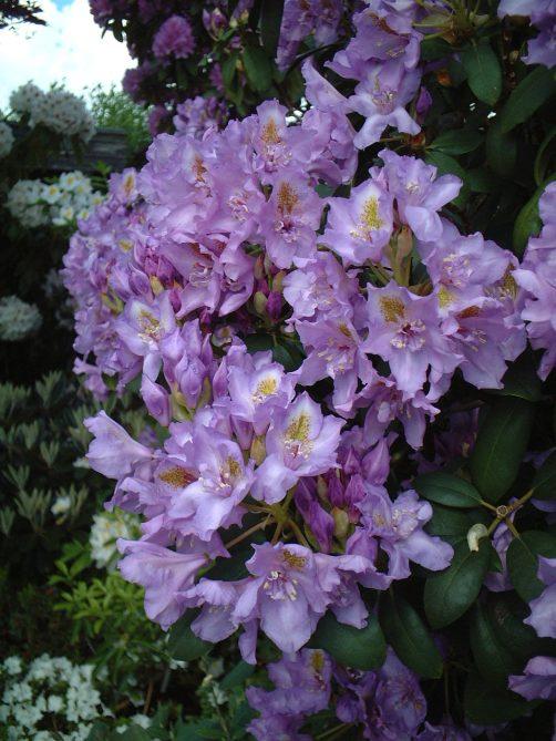 R. 'Fastuosum Flore Pleno' med delvist fyldte blomster