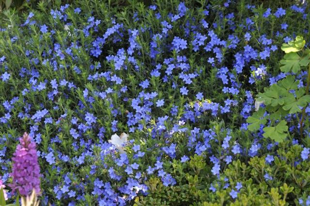 """Lithodore diffusa 'Heavenly Blue' er fantastisk under hvide eller sartrosa Rhododendron. På billedet se også en """"Gøgeurt""""."""