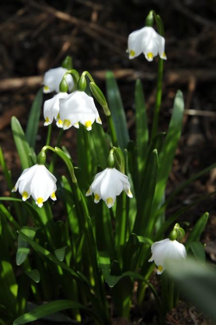Dorothealiljerne er allerede i blomst den 1.3.2014. De skal står fugtigt og halvskygget i sur jord.