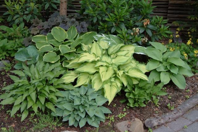 Hostaløvet findes i næsten alle nuancer af grønt. Der er planter på max 10-15 cm og andre på knap en meter.