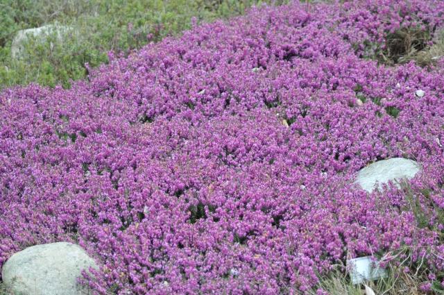 En tætklippet ca. 15 cm høj flade af Erica bestënde af mange gamle planter.