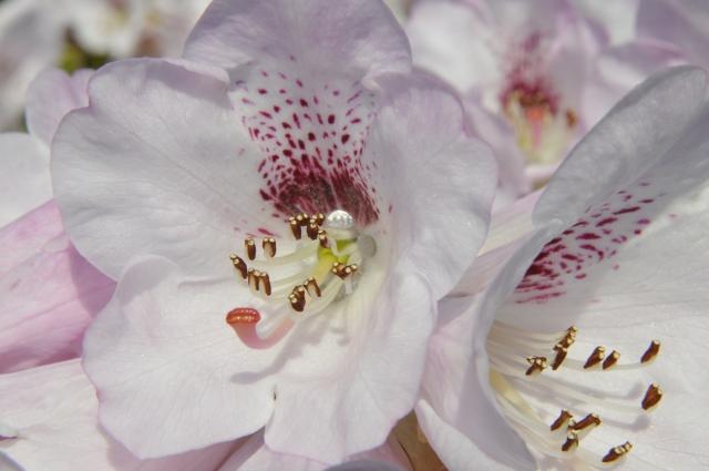 R. sutchuenense sprag tidligt ud i år. Billedet er fra 20.3.14. Bemærk honningdråben inde i blomstens midte.