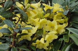 R. concatenans 'Comely' var i blomst allerede midt i april, grundet det milde forår.