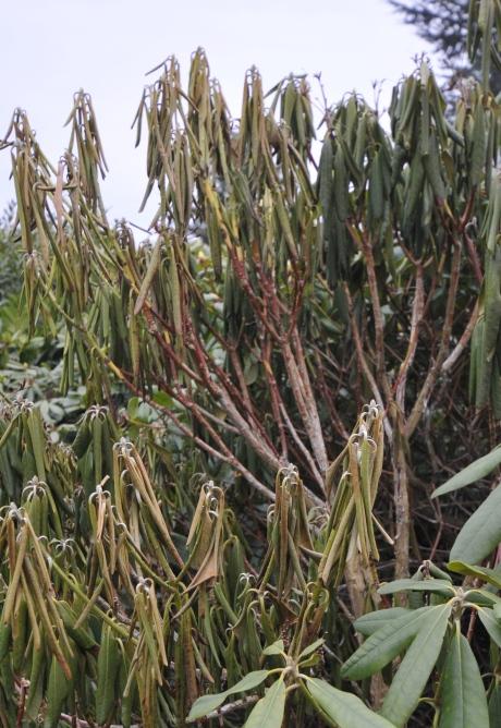 Helt udtørrede grene, kanp spå udtørrede og en enkelt rask gren. Svampen angriber roden, og stopper fremløbet af saft til grenene.