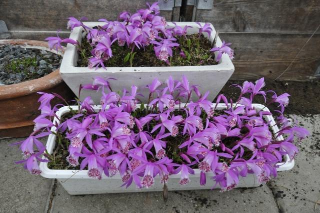 """Pleione limprichtii. Et par af vores """"trug"""" med den skønne """"Himalay-orkidé"""" i drivhuset, hvor de har stået hensat siden nov. sidste år helt uden pasning."""