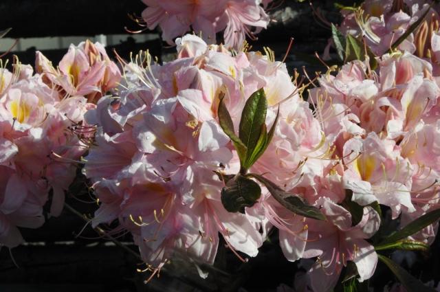 """R. viscosum 'Juniduft' er tidligt """"ude"""" i år, men som altid overvældende smuk og duftende."""