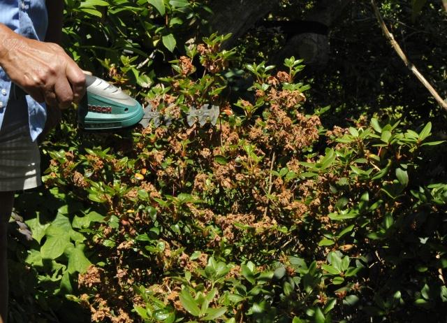 Med den lille håndtrimmer klippes 10-15 cm af en lidt åben Japansk Azalea.