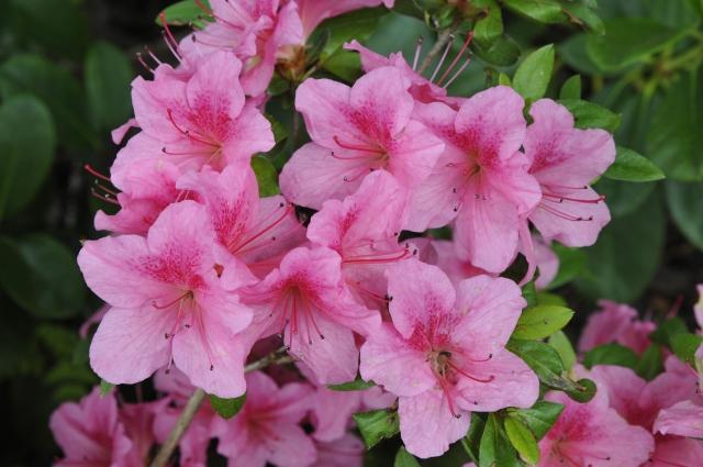 R. 'Chippewa' er en dværgazalea med amerikansk oprindelse i 1940. Den blomstrer fra ultimo juni og et stykke ind i juli.