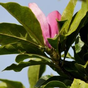 Magnolia 'Susan' den 14.8.2014