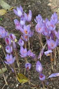 Crocus speciosus 'Artabir' fra Kaukasus, Tyrkiet og Grækenland, blomstrer endnu her i nov. på en lys plads mindre Rhododendron.
