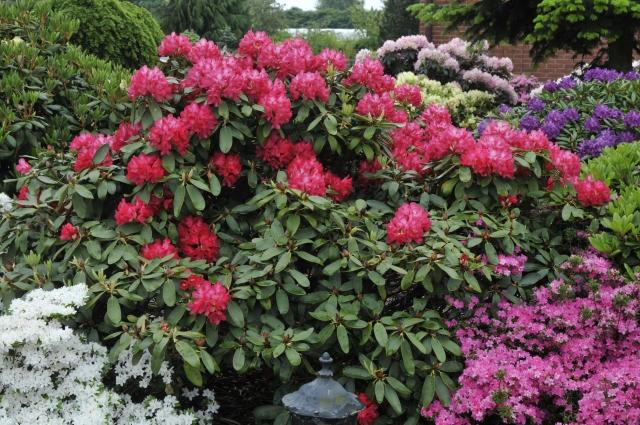 R. yakushimanum 'Bohlken's Roter Stern' som jeg oplevede den første gang på planteskolen i maj 2008.
