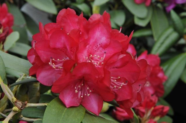 Rhododendron yakushimanum 'Bohlken's Roter Stern' fotograferet i privat have i juni 2013.