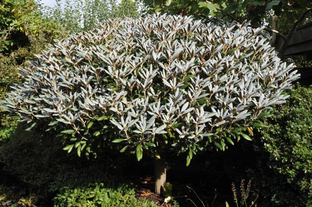 StorR. yakushimanum 'Edelweiss' med de smukke sart lysegrå indumenterede blade, som lyser op i bedet til langt ind i efteråret.