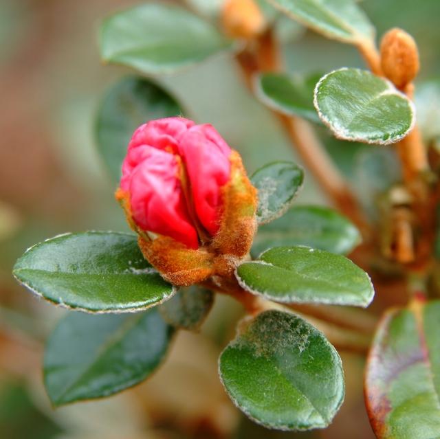 Selv om knoppen er rosa kan blomsten, når den udvikles være hvid. <vores (billedet) er sartrosa med mange små røde ganeprikker. Knopper og grene er stadig dækket med   bronzefarvet indument fra tilvæksten sidste år.