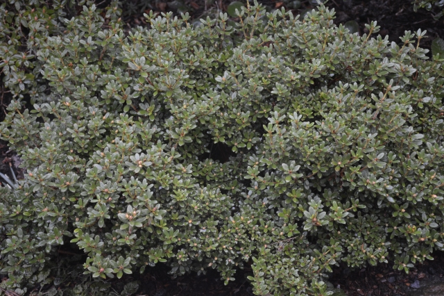 Vores næsten 20-årige R. dendrocharis fotograferet den 20. februar 2015. Planten er omkring 40x55 cm.