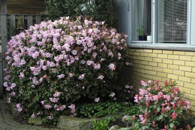 Den 2. maj 2008 blomstrede R. williamsianum