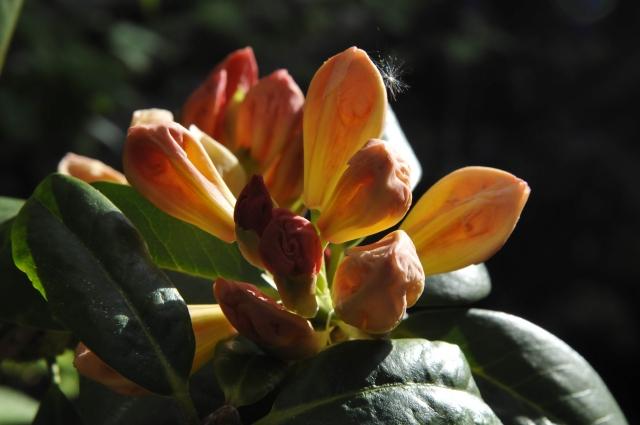 Den samme plante i udspring fotograferet den 23. maj 2013