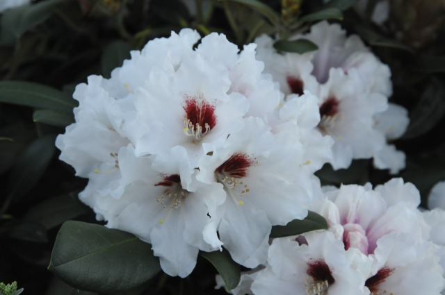 Næsten som en brudebuket er den enkelte blomsterklase på R. yakushimanum 'Bohlken's Snowfire'