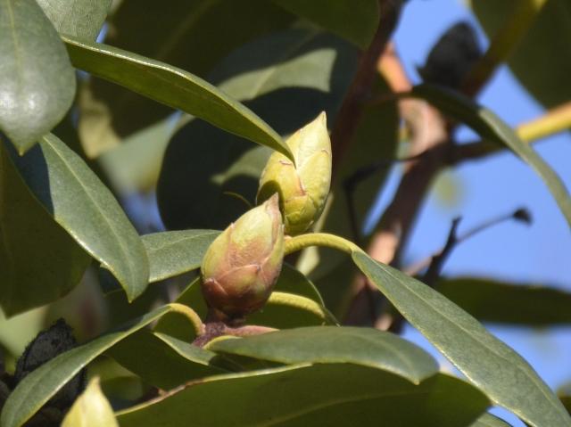 Foran ses en knop med delvist brune dækblade, og tydeligt brun ved basis. Bag ved ses en frisk lysegrøn knop.