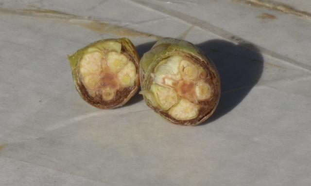 Den dårlige knop på øverste billede er brækket af og skåret i 2 dele. Det ses tydeligt at svampesygdommen  breder sig  både nedefra og udefra indefter.