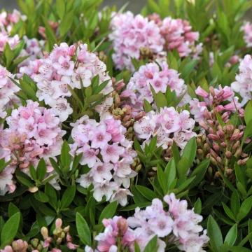 Rhododendron micranthum 'Bloombux' fotograferet primo juli i vores have i 2014.