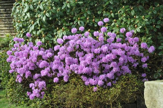 R. dauricum sempervivum dwarf i blomst ultimo marts.