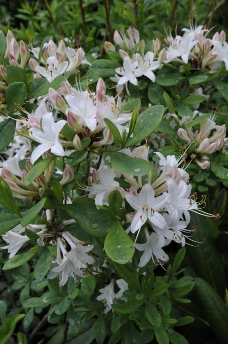 R. atlanticum i udspring ultimo maj. Som flere vildarter fra USA har den en pragtfuld duft.
