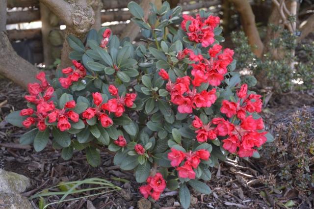 R. neriiflorum 'Mirka' i blomst den 23.4.2015.