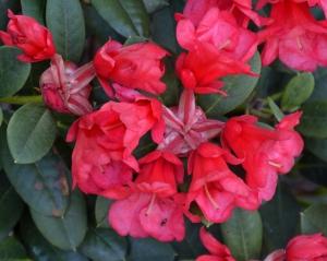 Den dobbelte calyx  og røde blomsterstilk giver blomsterklasen et let udseende.
